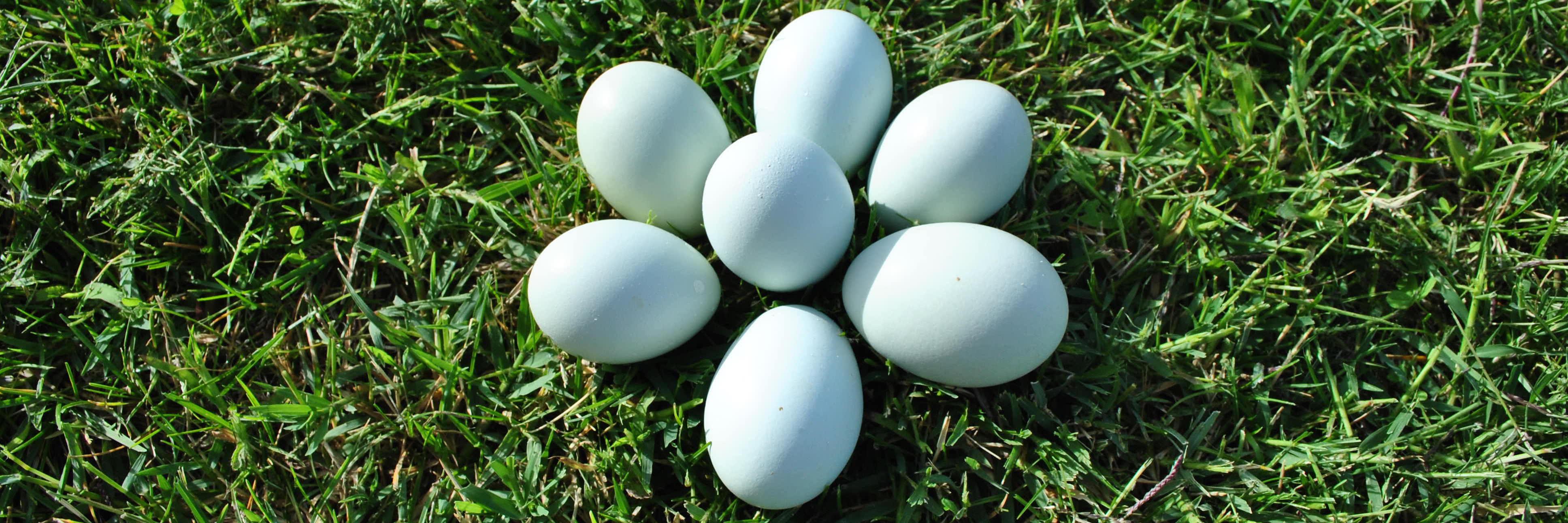 Huevos azules sobre cesped