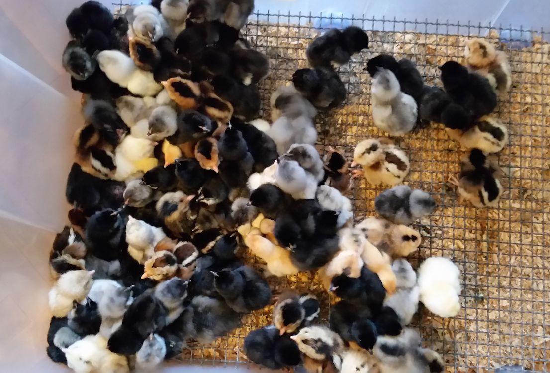 Grupo de pollitos