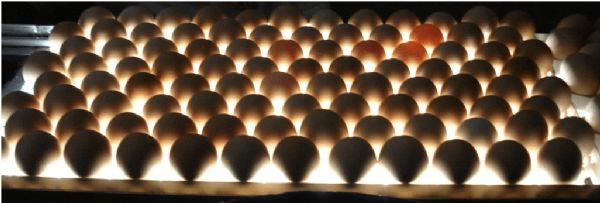 Detalle huevos incubando