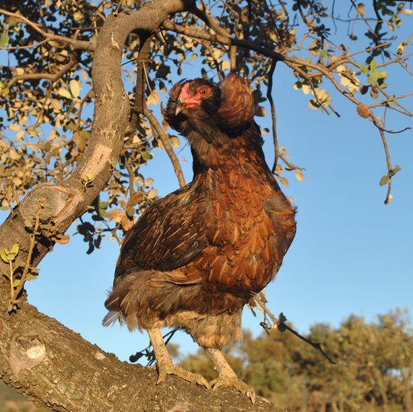 Gallina y gallo araucano