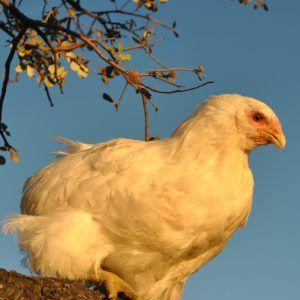 Pack 2 tríos gallinas araucanas 4 meses (2 Machos + 4 Hembras)