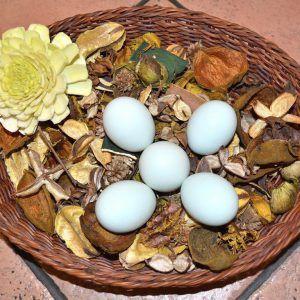Pack 7 docenas huevos fértiles gallina araucana (huevos azules)