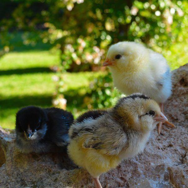 Pack 25 pollitos 1 mes de edad araucanos no sexados