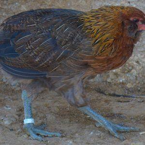 Pareja pollos araucanos 2 meses (Macho + Hembra)
