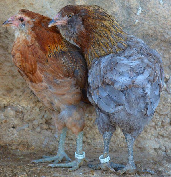 Pollos araucanos