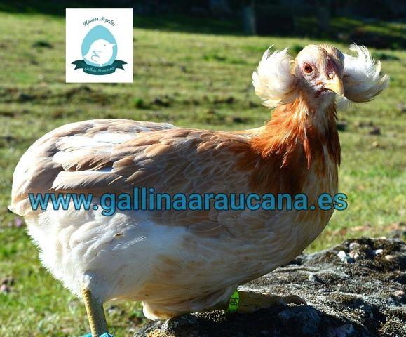 gallina araucana